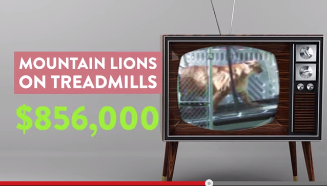 Video: Federal Gov't Spent $856K to Study These Mountain Lions on Treadmills