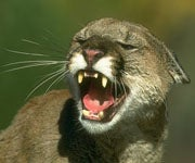Mountain Lions Kill 2 Radio-Collared Wolves in Montana