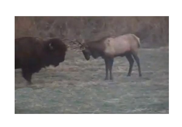 Caught On Tape: Elk Vs. Bison
