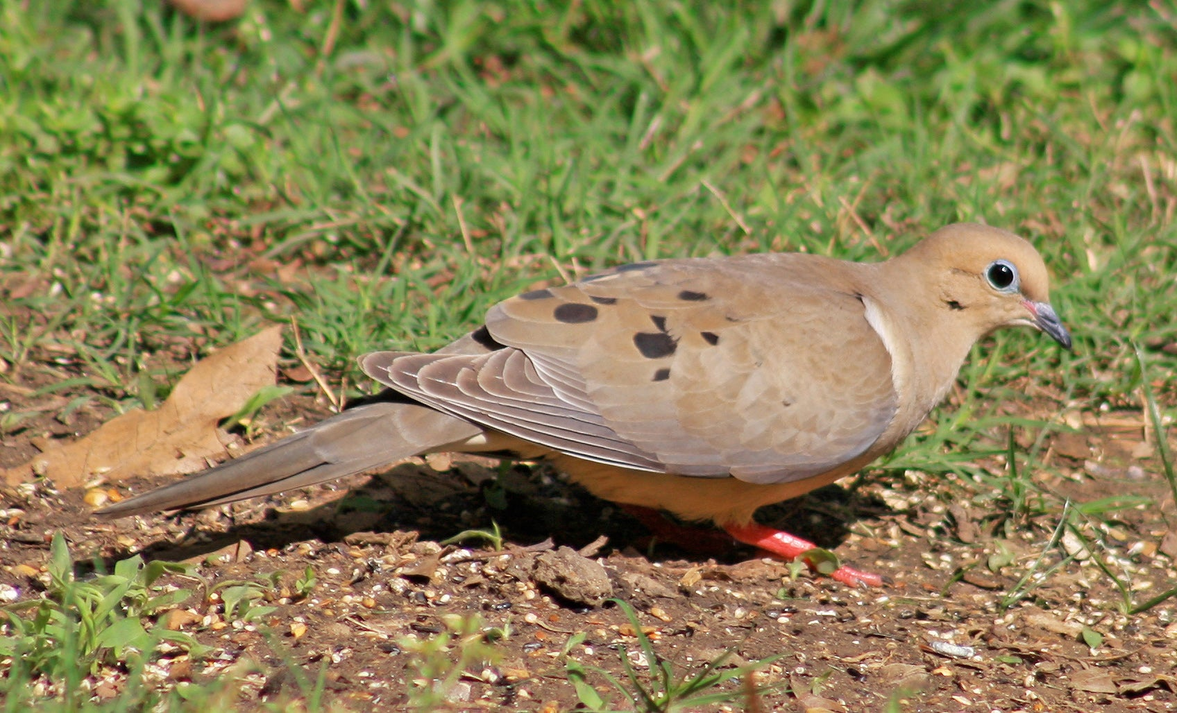 Stoned Dove Poachers Start Oklahoma Season Early