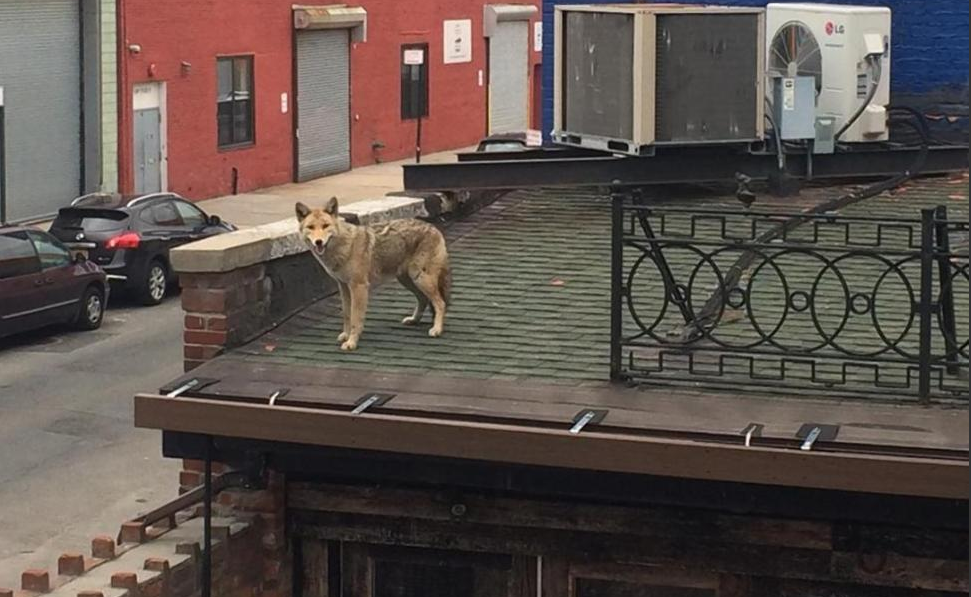 Coyote Spotted on Roof of NYC Bar