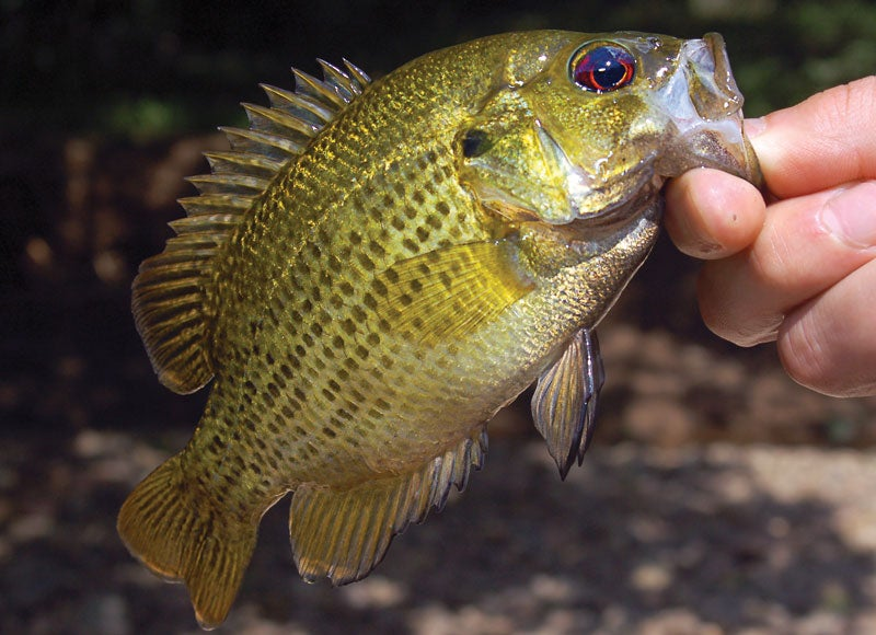 Tips for Catching the Highly Underrated Rock Bass