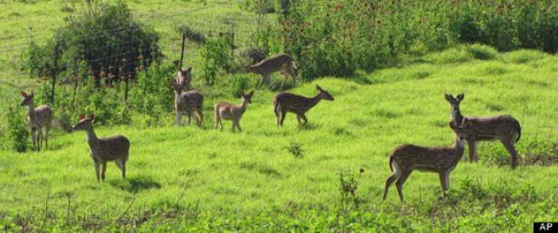 A group on non-native axis deer in Hawaii.