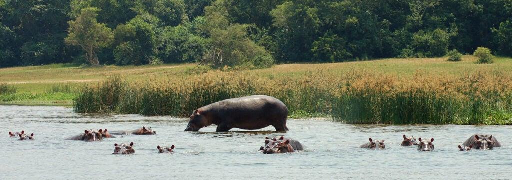 Hippo Nile River