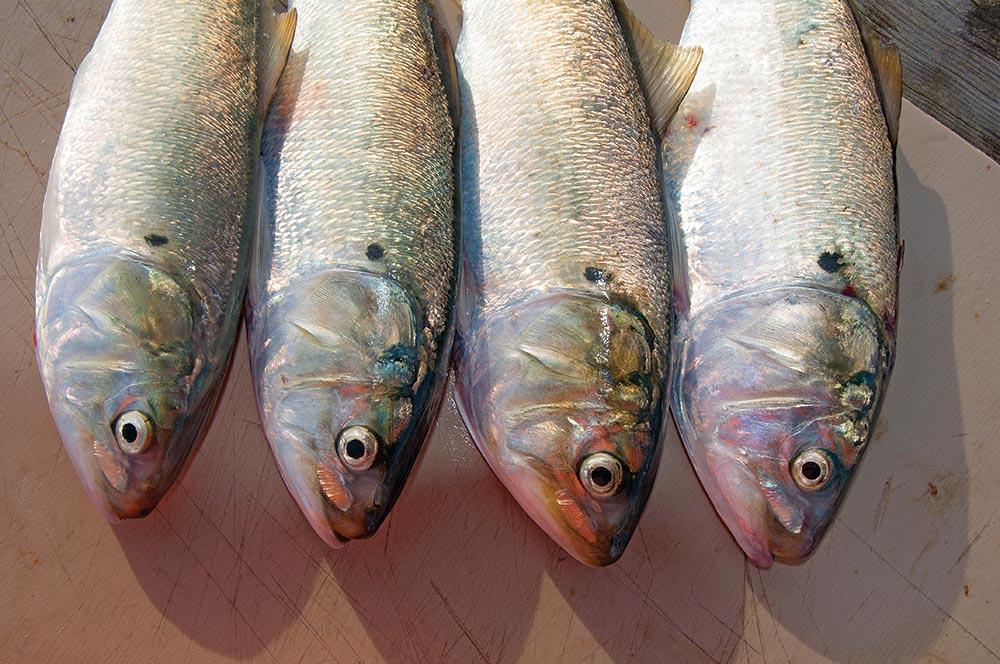 Atlantic Menhaden used for striped bass fishing
