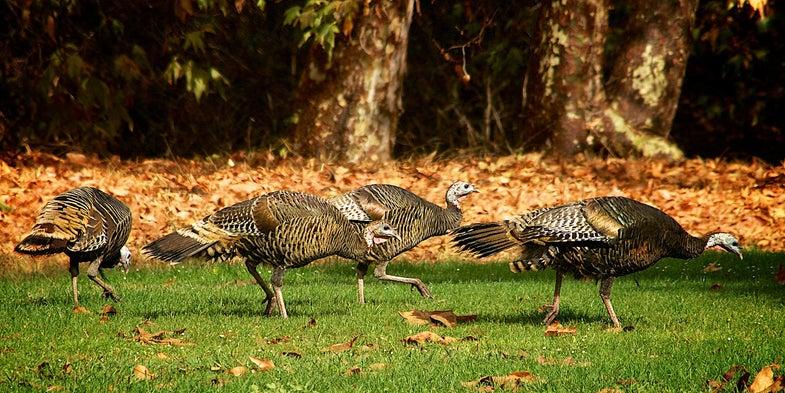 wild turkey flock, california