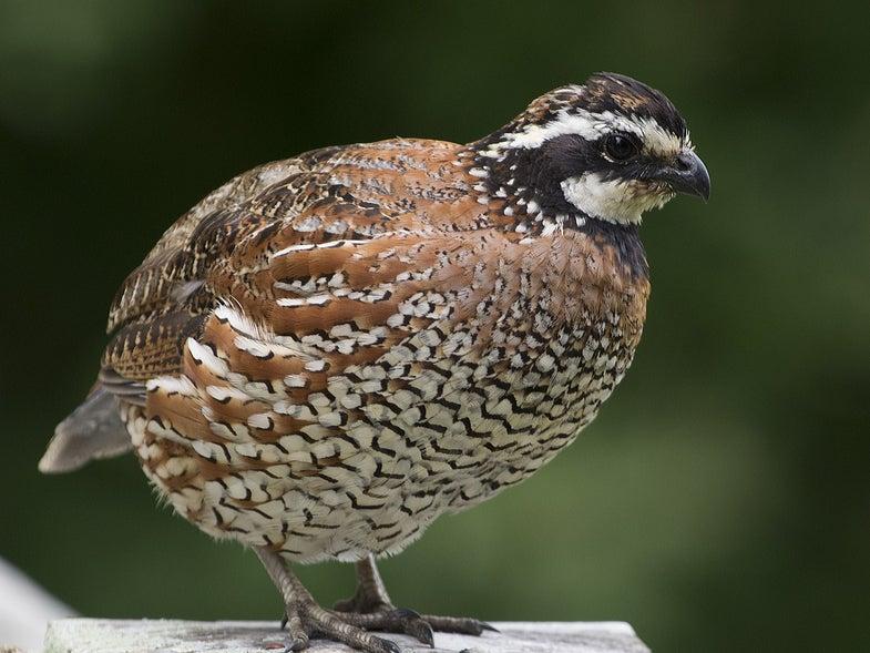 arkansas quail restoration