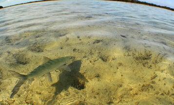 Bahamas Boneyard: Flyfishing for Bonefish in the Marls of Abaco Island