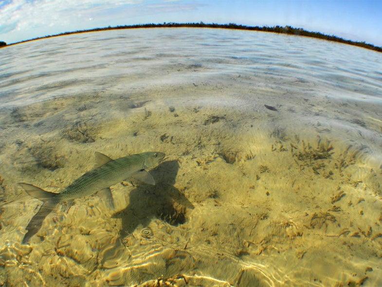 tailing bonefish Abaco Island Bahamas