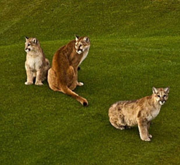 httpswww.fieldandstream.comsitesfieldandstream.comfilesimport2014importBlogPostembedFN_golf_lions.jpg