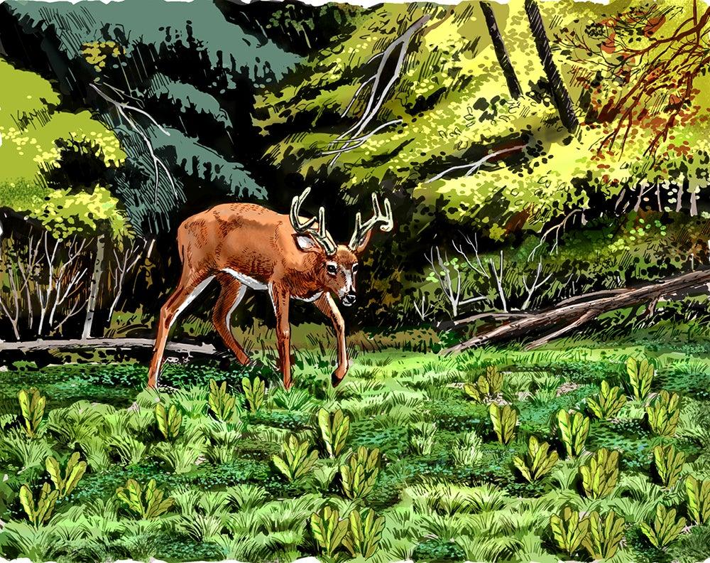 Illustration of a deer in a food plot.