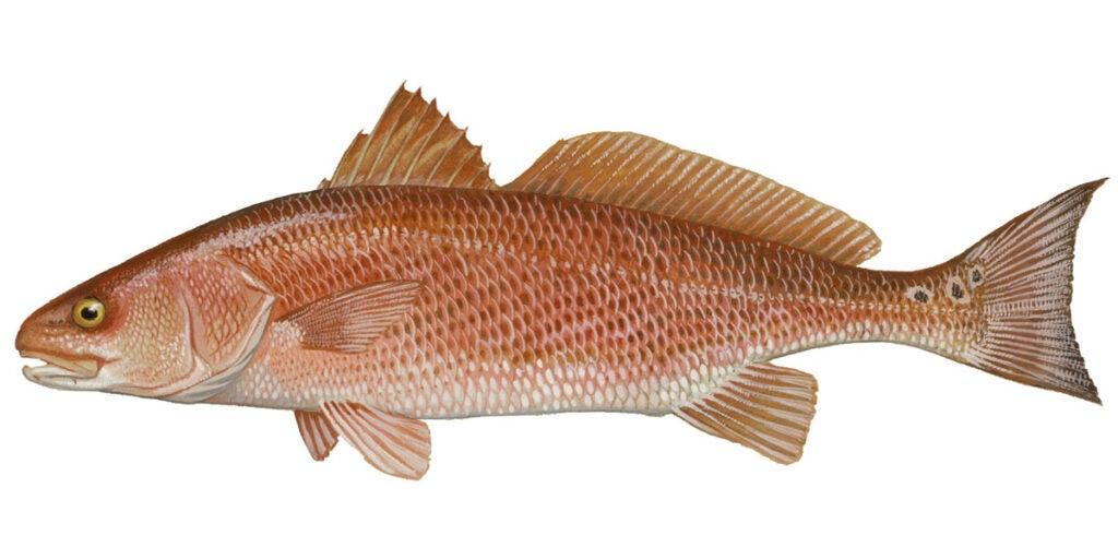 oil spill redfish