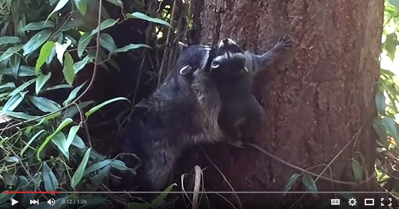 Video: Mother Raccoon Helps Kit Learn to Climb a Tree