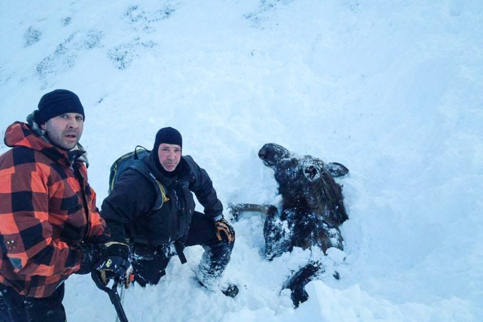 Snowmobilers Free Moose Buried by Avalanche in Alaska