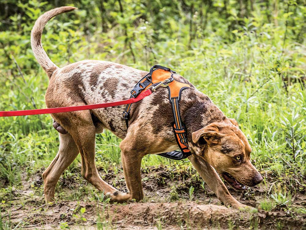 hunting dog tracking a deer trail