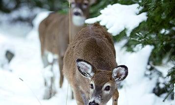 Whitetail Deer Tip: Follow the Breeder