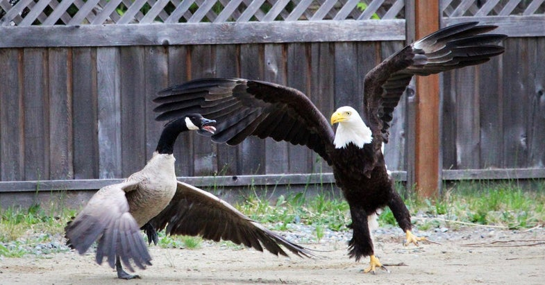 bald eagle attacks, goose vs. bald eagle, bald eagle attacks goose,