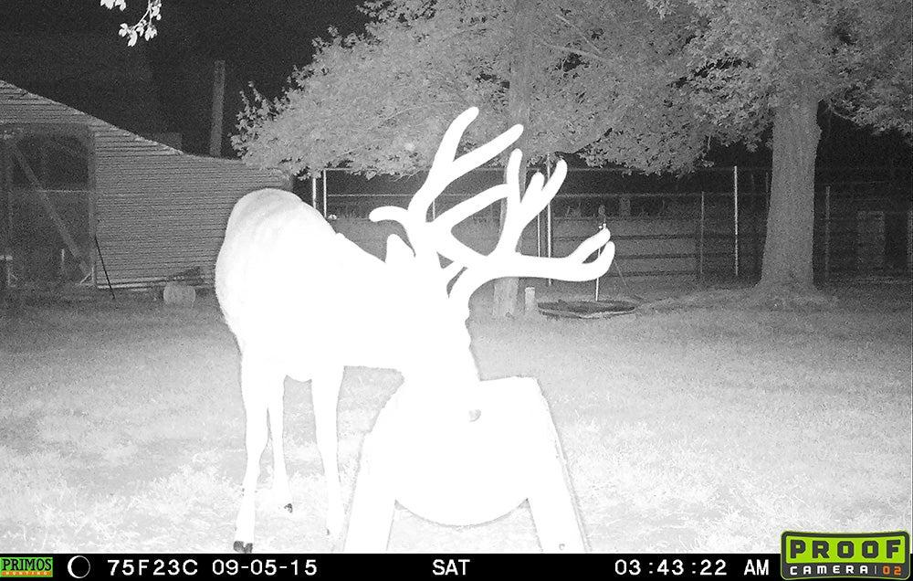 Big Mule Deer Buck Showing Up at Night