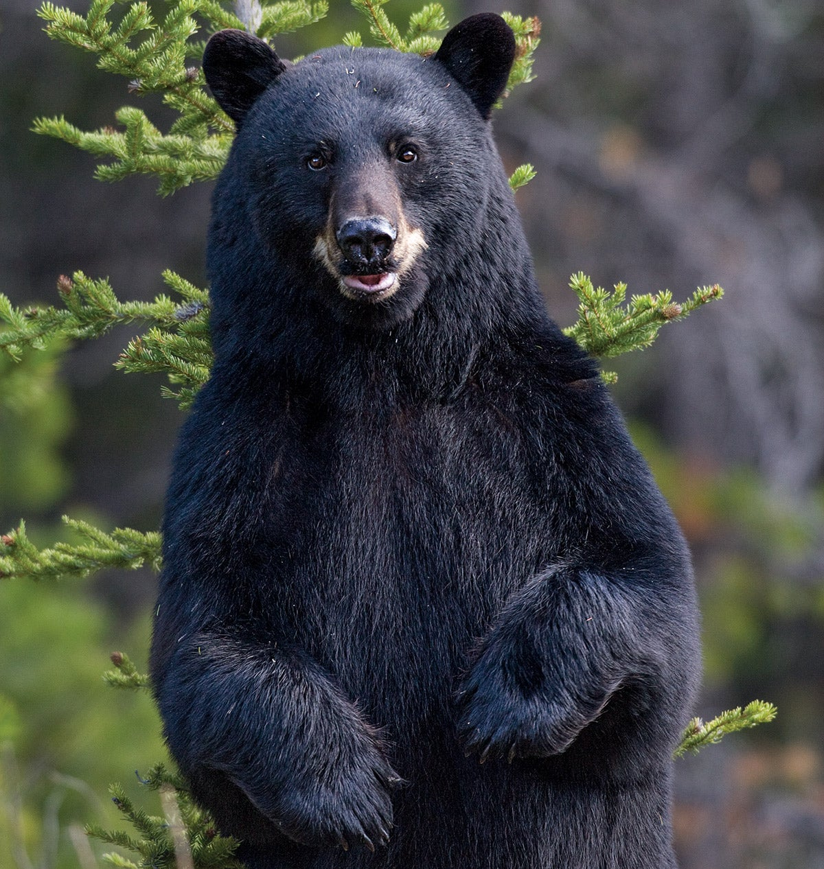 How the Humane Society of the United States Could Win the Maine Bear Hunting Battle