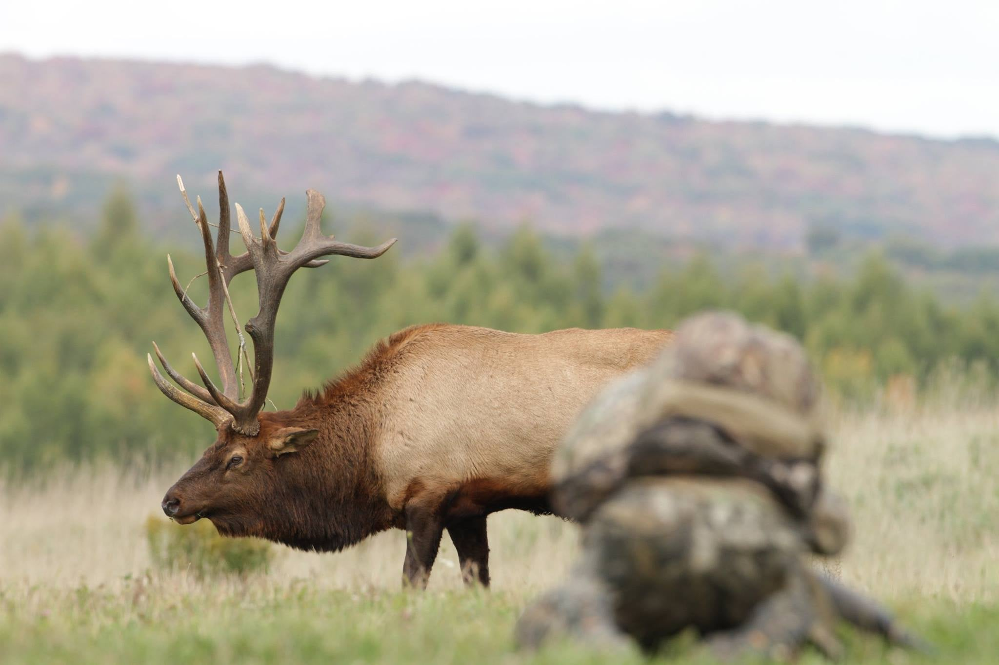 PA Locals Debate Whether Harvest of 'Iconic' Elk Was Fair
