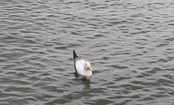 Sportsman's Notebook: Seagull Buoy-Marker Decoy