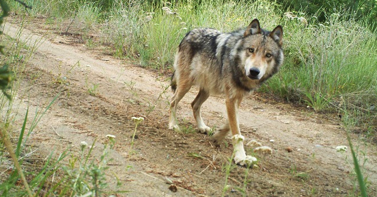 Second Gray Wolf Spotted in California Since 1920s