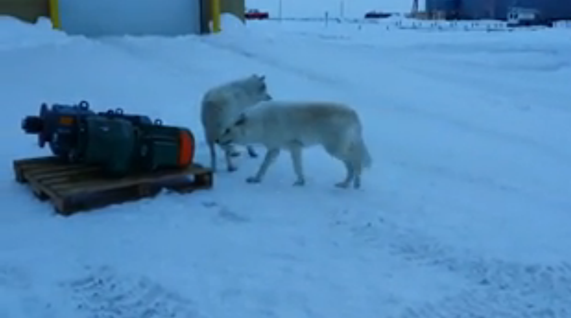 Arctic Wolves Mingle with Canadian Workers