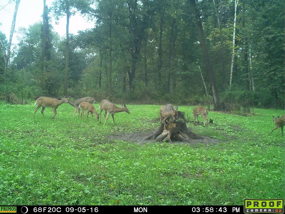 Eight doe in pine tree plot