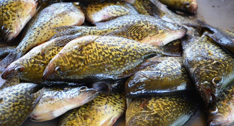 Wisconsin Man Fined $25,000 for Hoarding 2,500 Panfish