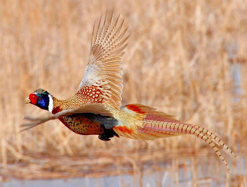 ring necked pheasant