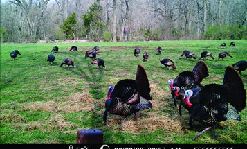 Turkey Hunting: Use Trail Cameras to Pattern Spring Gobblers