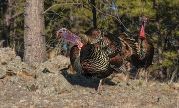 How to Hunt Turkeys in the Backcountry