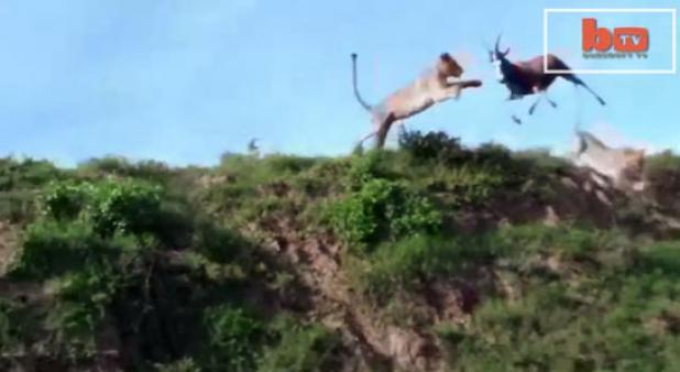 Video: Lion Grabs Blesbok in Mid-Air