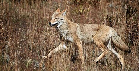 Basic Coyote Hunting Tips