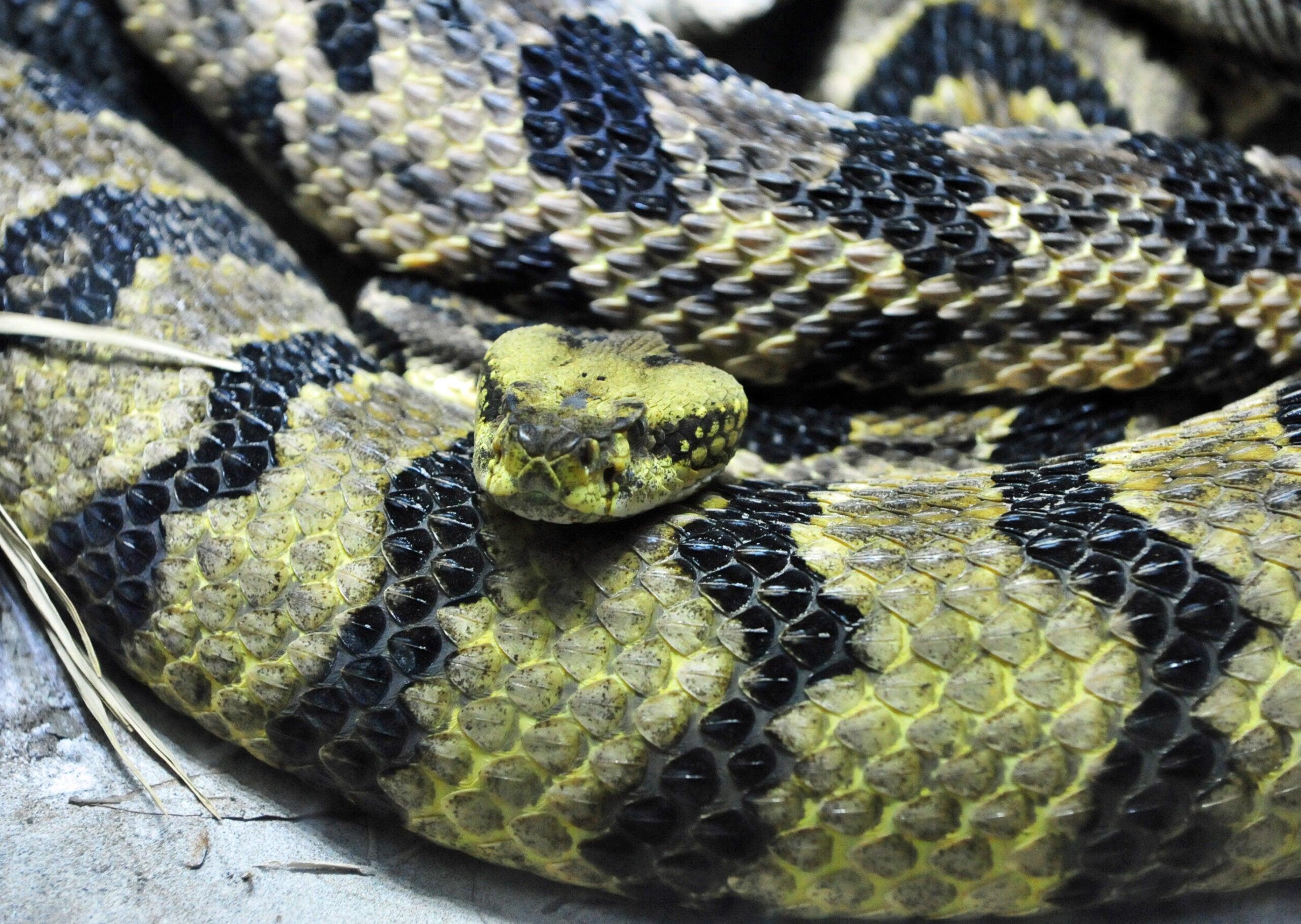 timber rattlesnake, canebrake, florida
