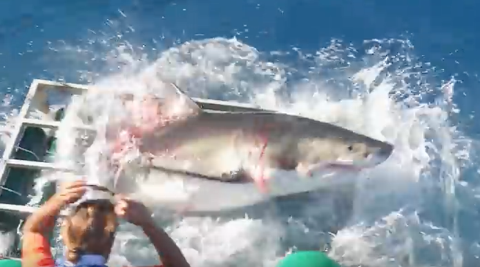 great white shark breech cage