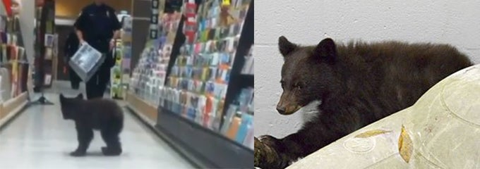 Video: Bear Cub Wanders Into Oregon Pharmacy