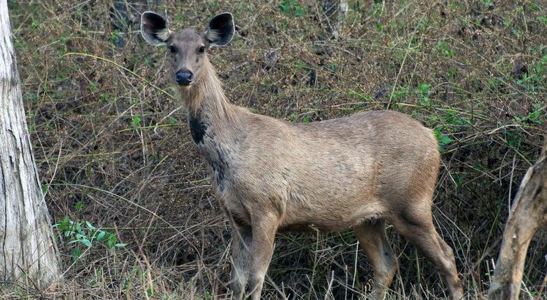 Twelve New Zealand Deer Flee Butcher