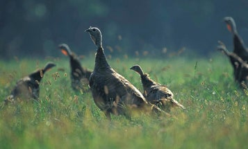 A Bump in Turkey Poult Production Shows Promise in Missouri