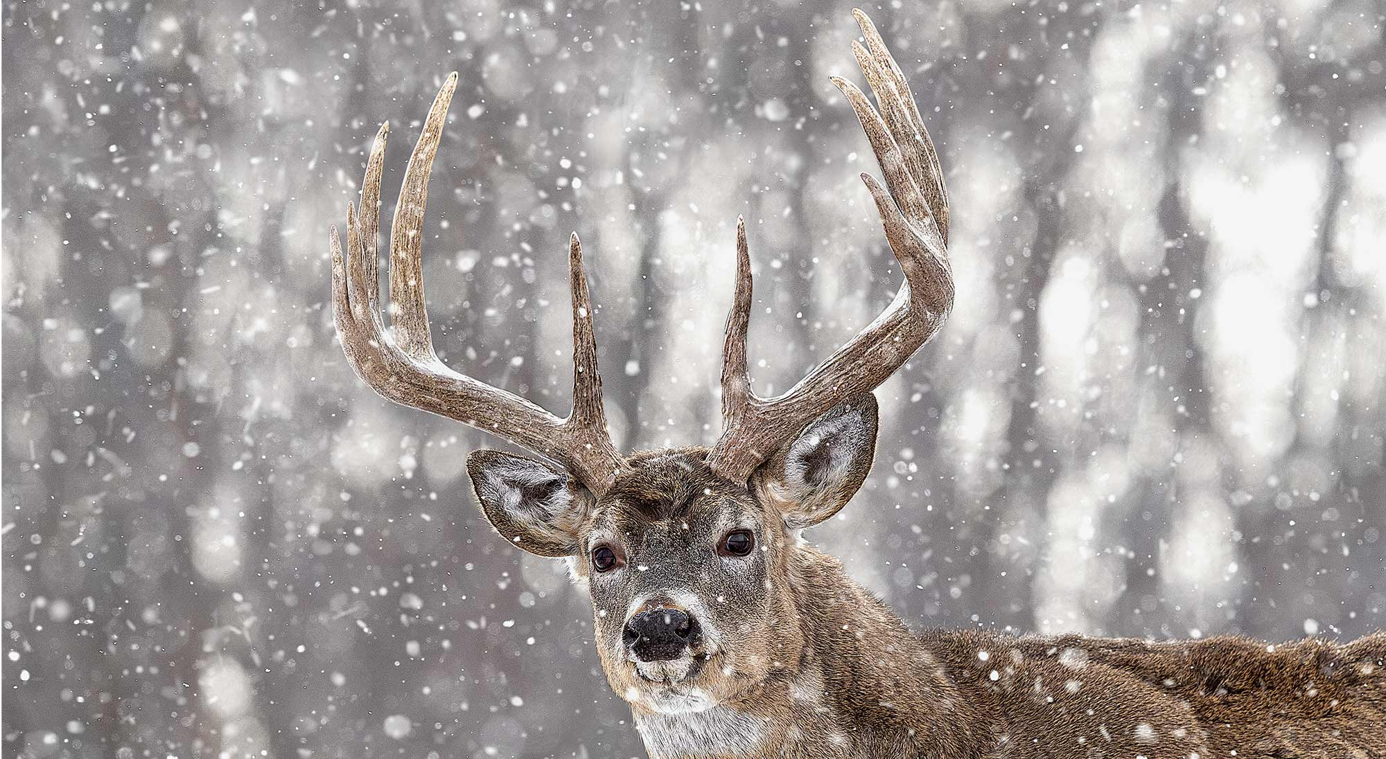 10 point whitetail buck in the snow