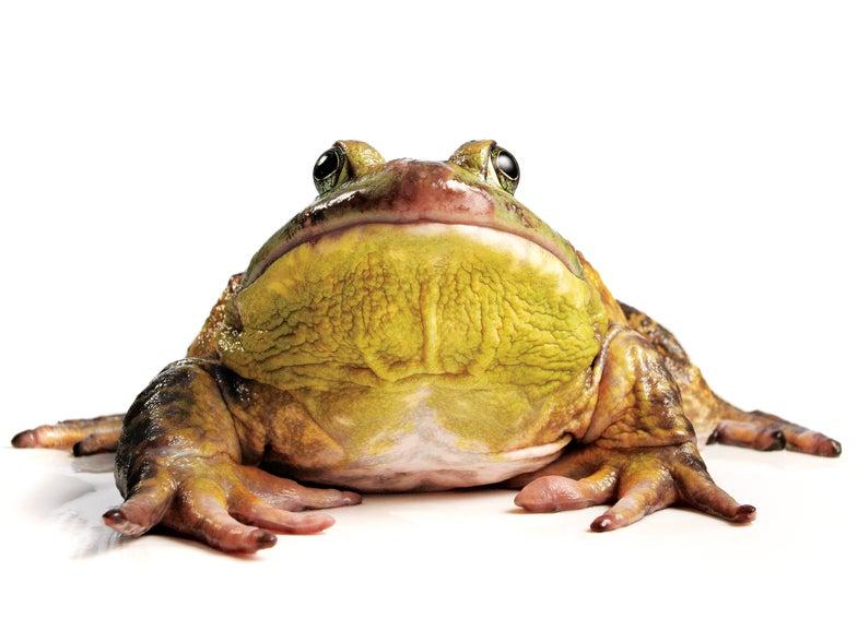 frog gig