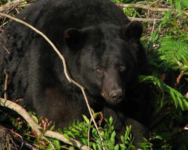 Florida Lawmakers Propose Bear Hunt to Curb Attacks
