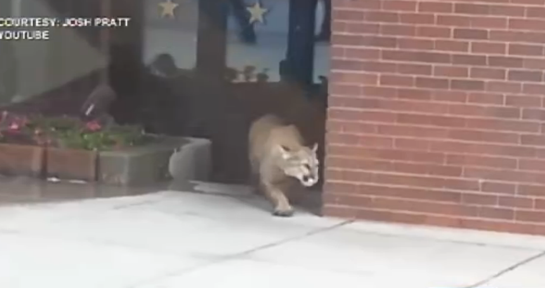 Video: Mountain Lion Prowls Shopping Center, Shot at By Police