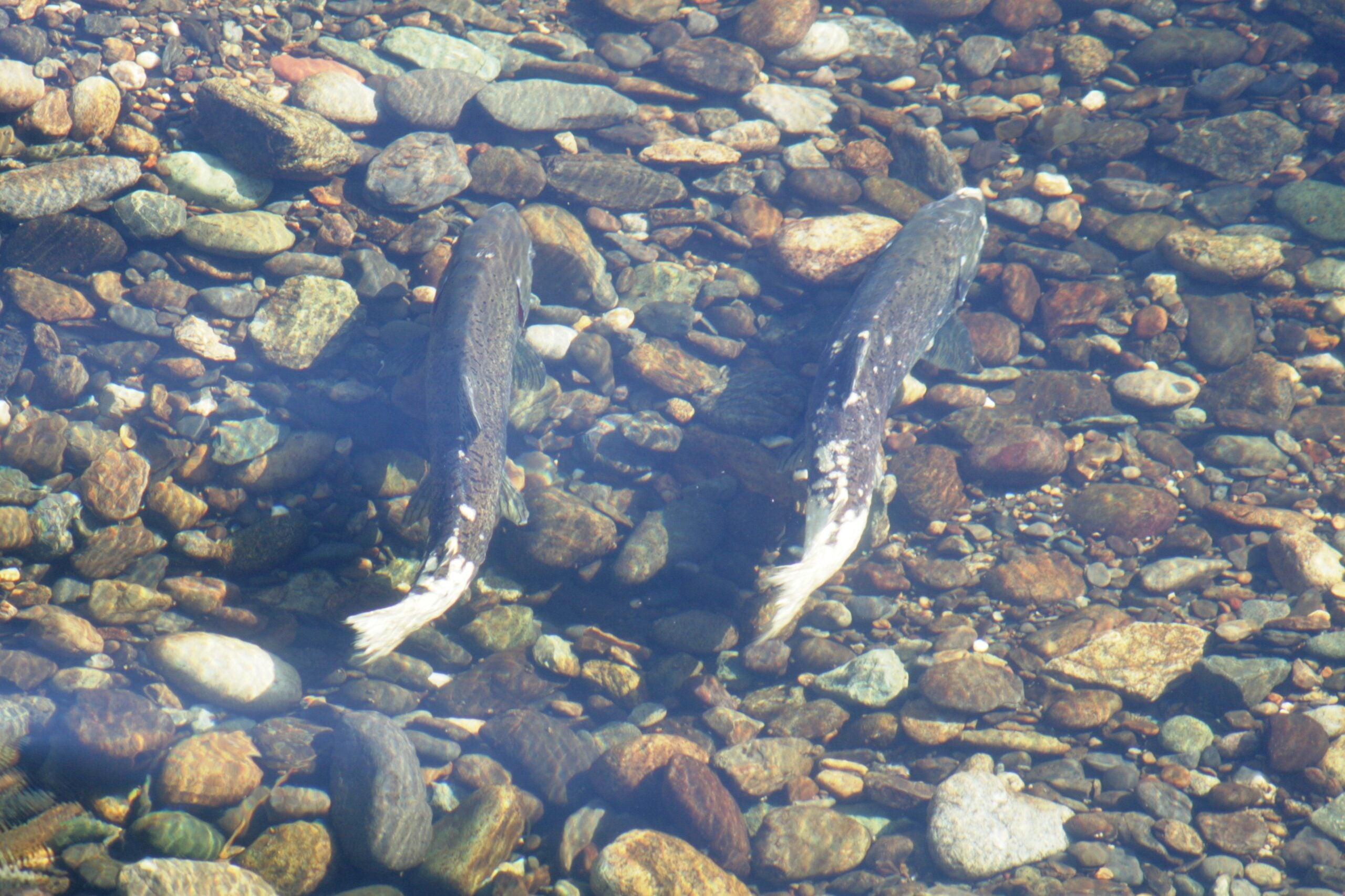California Hopes $1M Water Chillers Will Save Hatchery Salmon