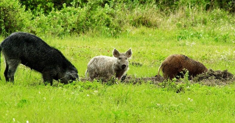 Missouri Proposes Hog Hunting Ban