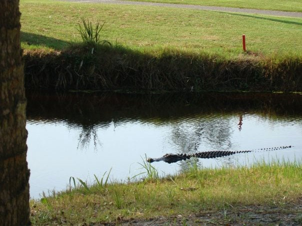 Training Dogs on Golf Courses? Watch Out for Alligators