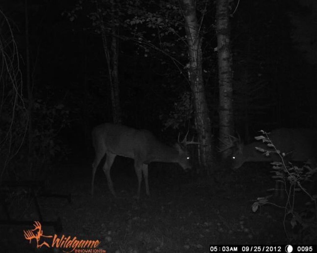 two bucks caught on trail camera