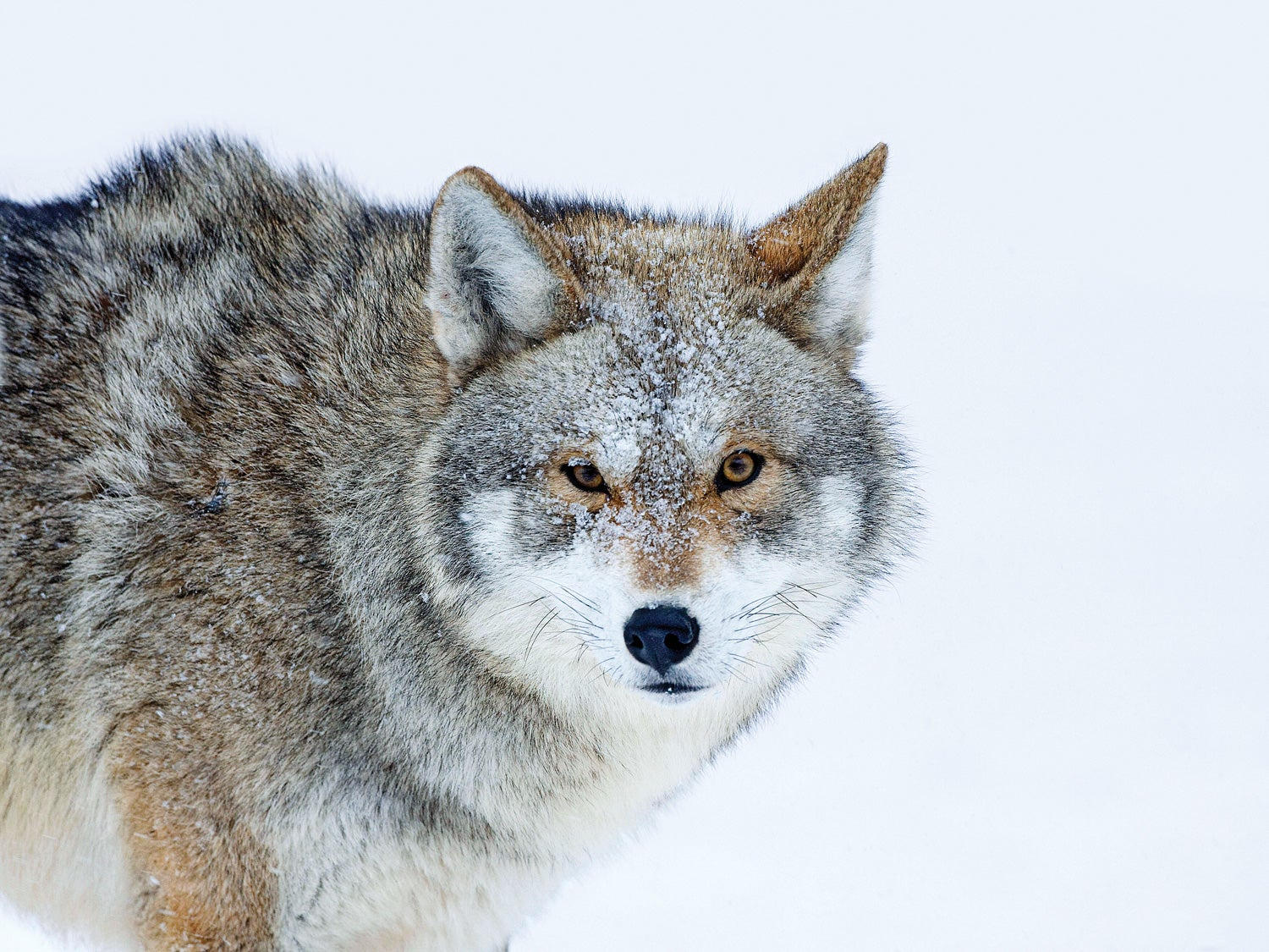 coyote conservation