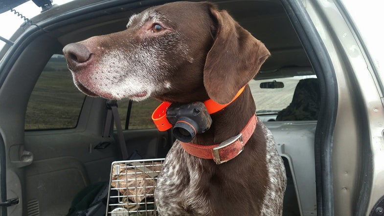 Electronic Collars for Upland Bird Dogs