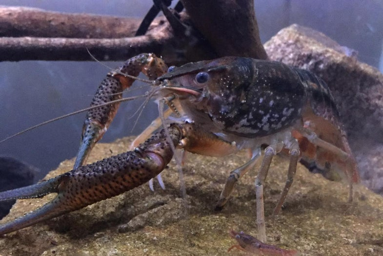 A Little Crawfish Knowledge Goes A Long Way